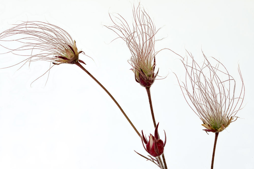 Prairie Smoke Seeds, by Phillis Bankier. All rights reserved.