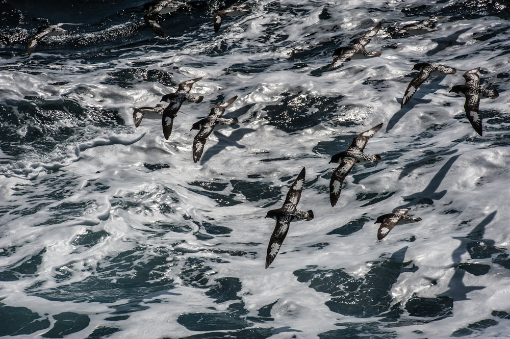 Cape Petrels, by Patrick Eagan. All rights reserved.