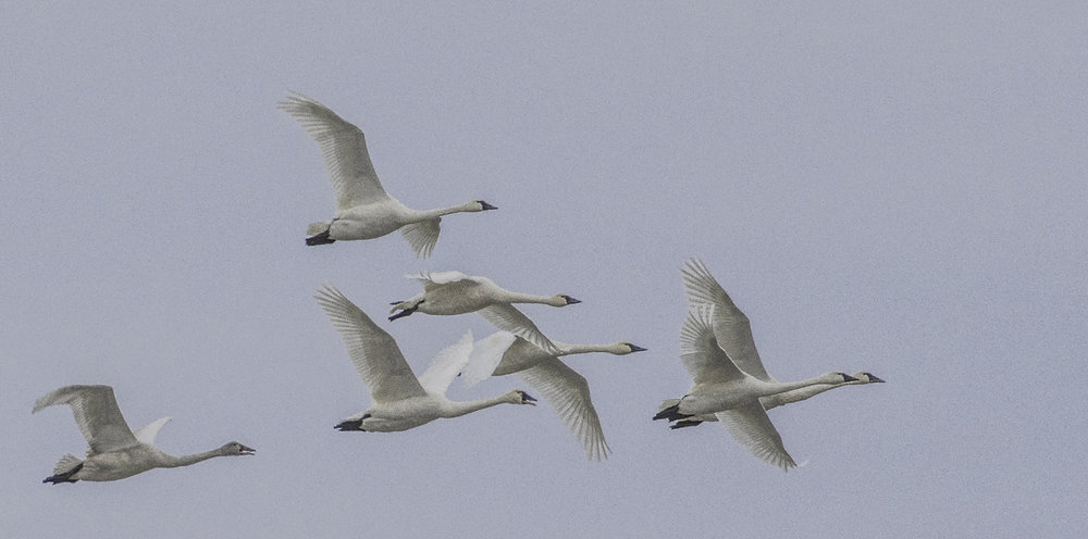 Tundra Swans by John Wright. All rights reserved.