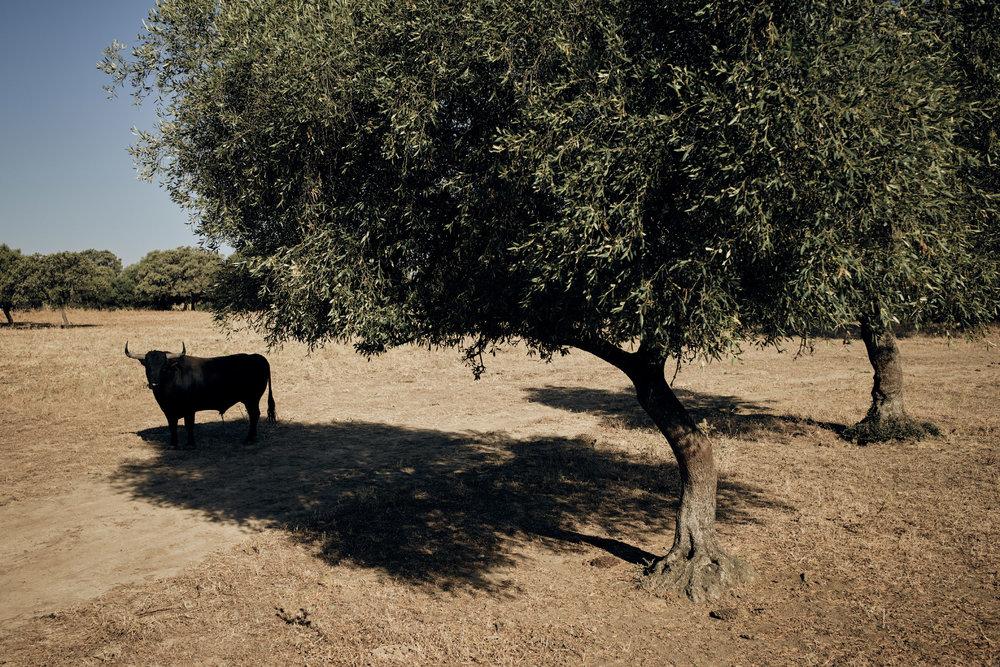 Novilleros   Die Stiere werden speziell für den Kampf gezüchtet. Ihr Stammbaum reicht oft Jahrzehnte zurück. Ihre wenigen Lebensjahre verbringen sie auf dem weitläufigen Land traditionsschwangerer Züchter. Der Kontakt zum Menschen wird möglichst gering gehalten.