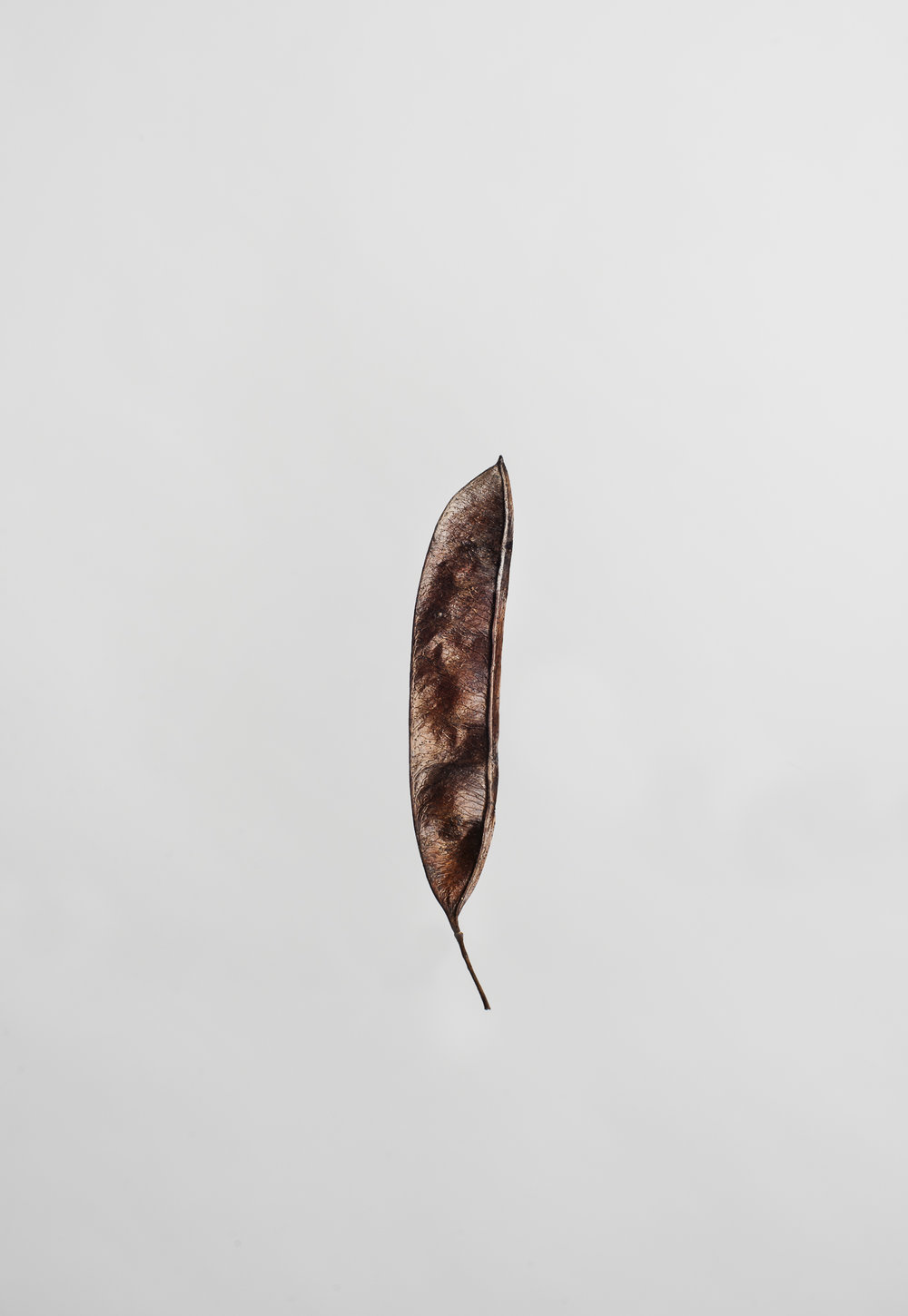 Cercis canadensis - Seedpod of Eastern Redbud Tree
