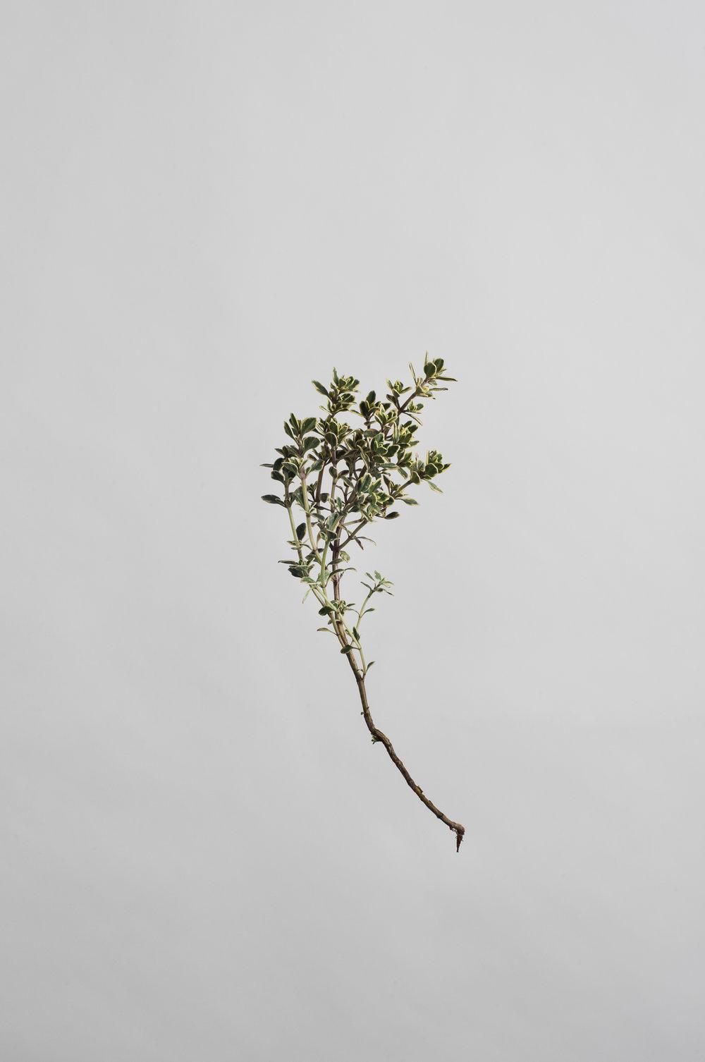 Thymus citriodorus - Lemon Thyme