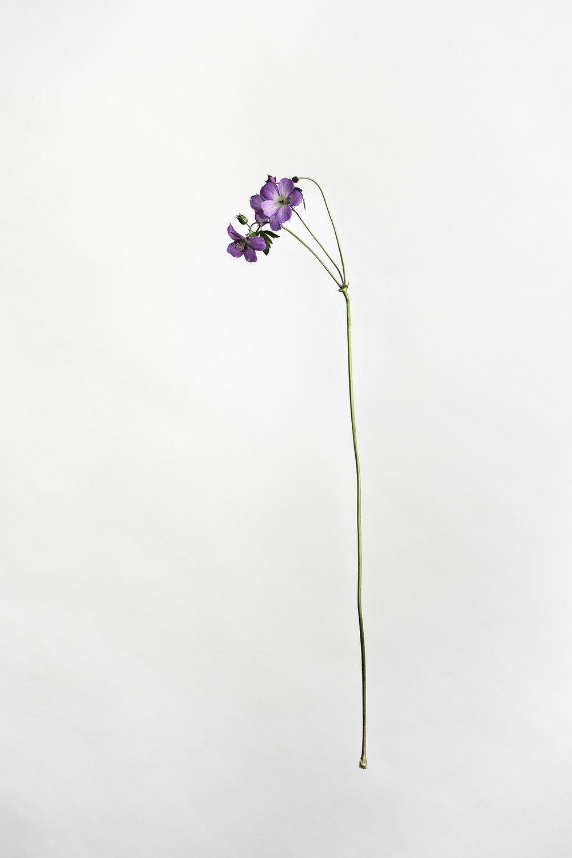 Geranium maculatum - Wild Geranium