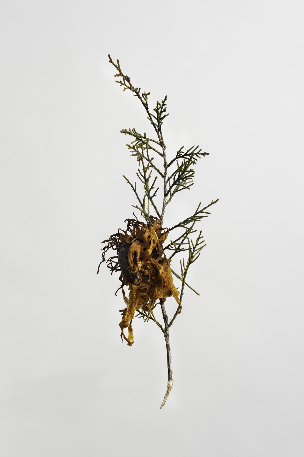 Gymnosporangium juniperi-virginianae - Cedar Apple Rust
