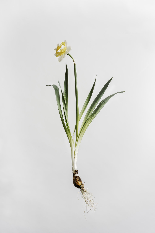 Narcissus - Irene Copeland Daffodil