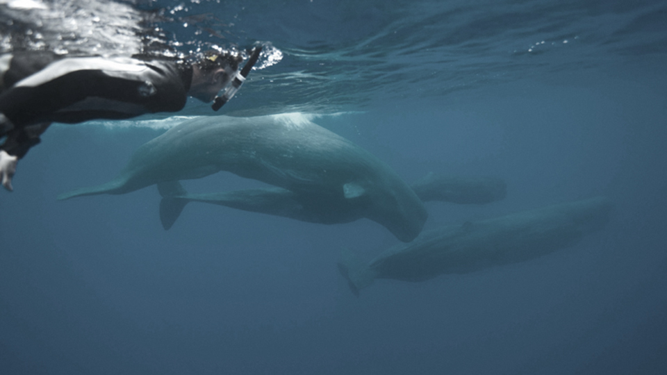 Philip Hoare with adult female and juvenile sperm whales, The Azores: Photo by Andrew Sutton