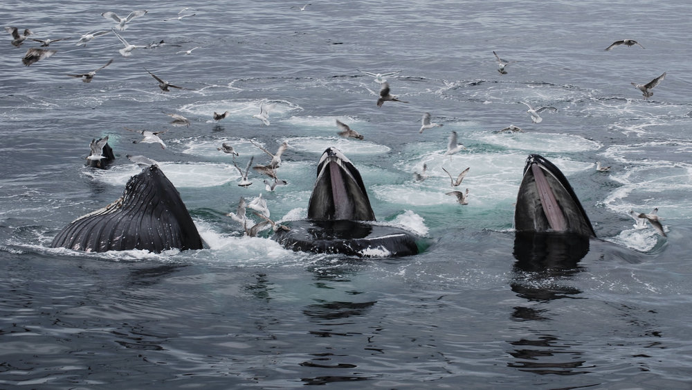 Humpbacks co-operatively feeding, Cape Cod: Photo by Philip Hoare