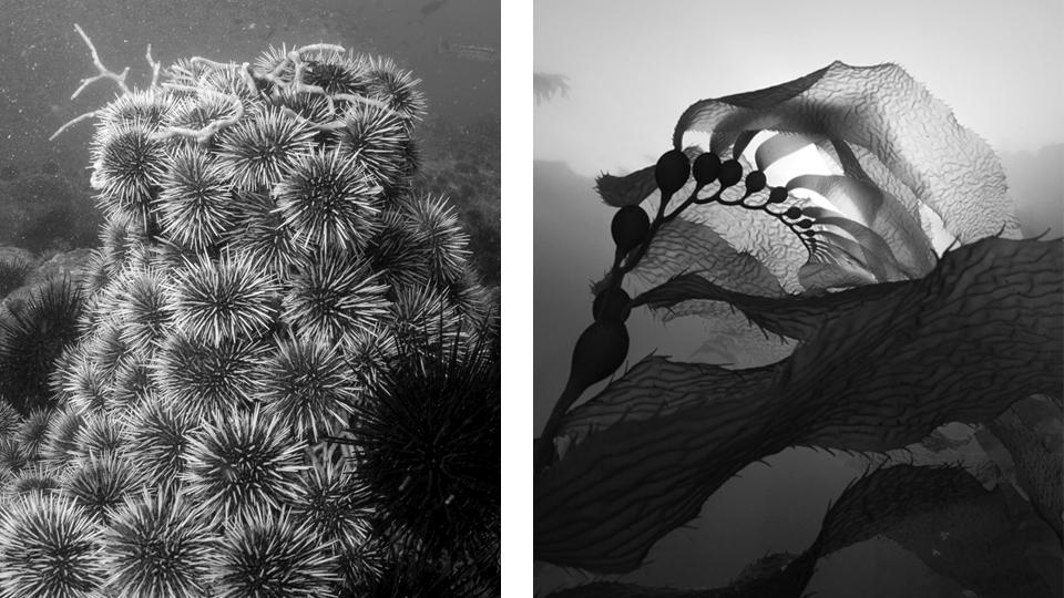 urchin v kelp.jpg