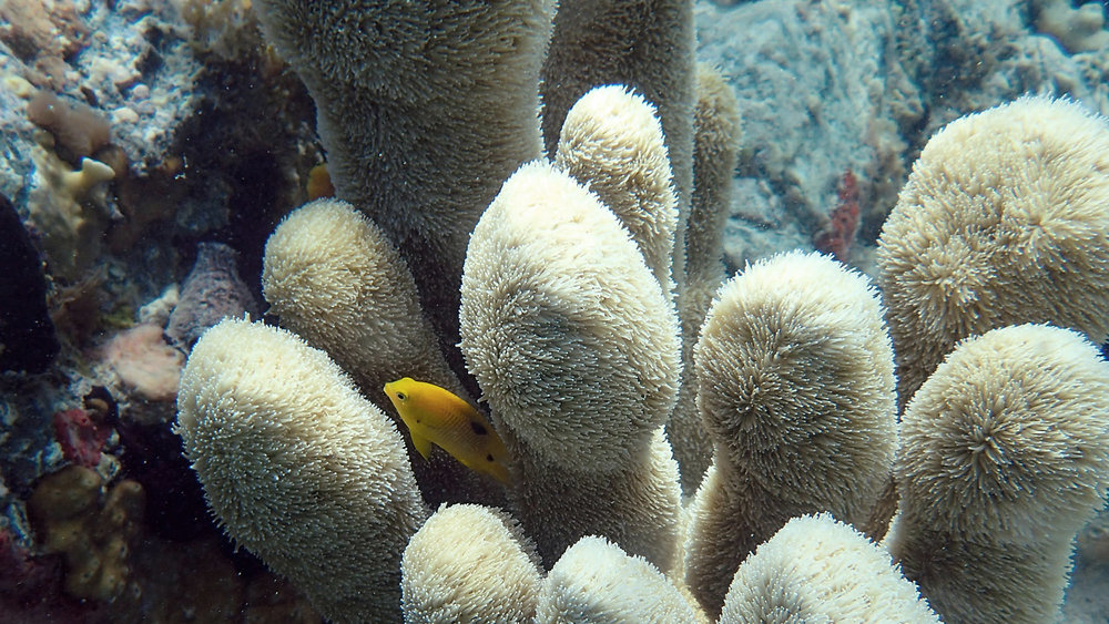 Pillar coral is listed as threatened under the Endangered Species Act. Photo by NOAA