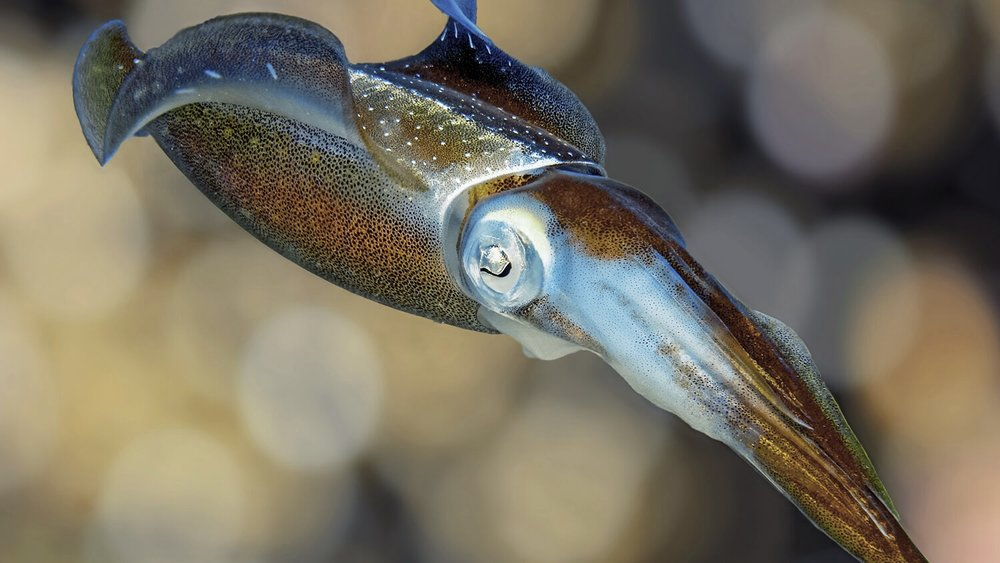 Caribbean Reef Squid ( Sepioteuthis sepioidea ) by Betty Wills.