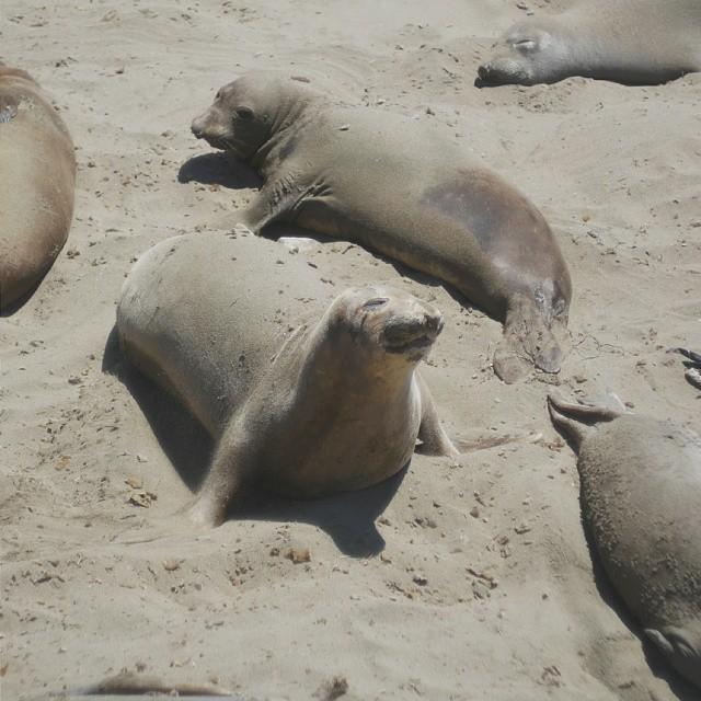 Seals everywhere on 1 Pacific Coast Highway. #travel #animals #vacation #california #lumix #vsco