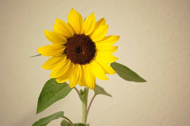 sunflower-1223777-639x424.jpg