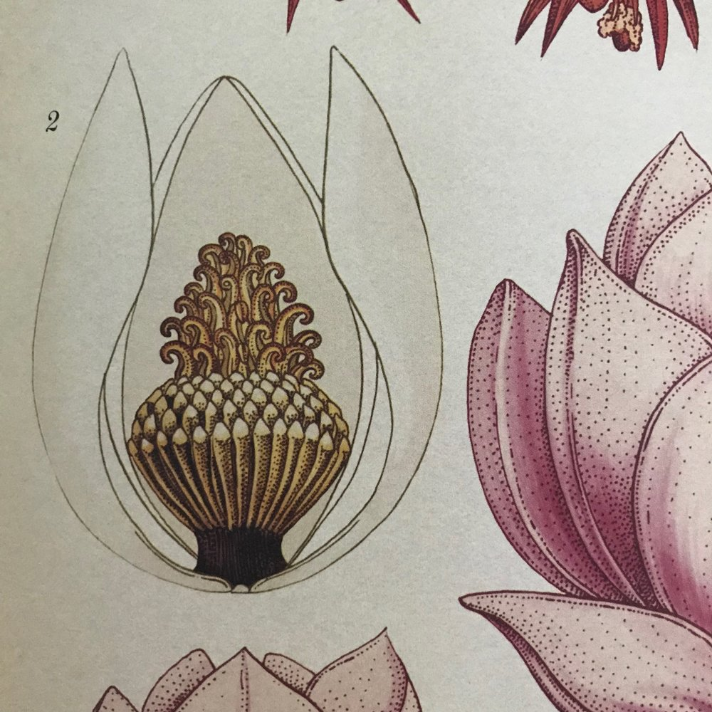 Botanical Illustration from book