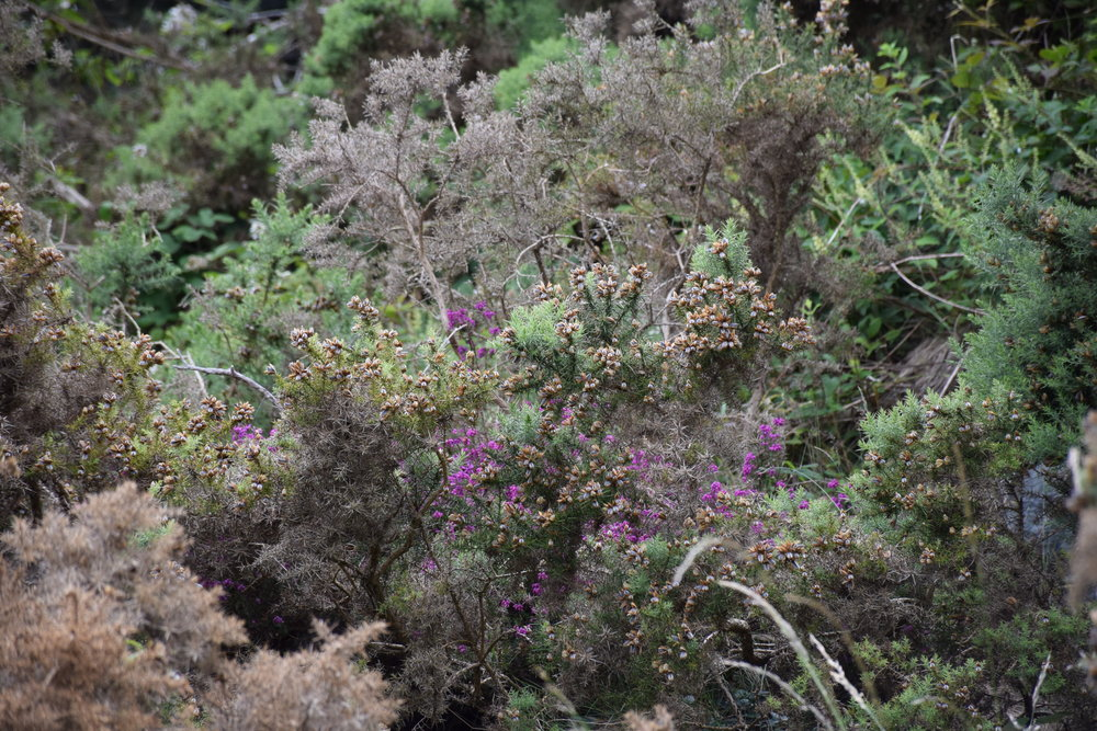 Heather hedgerow near our hometown in the Mourne Mountains, Co. Down