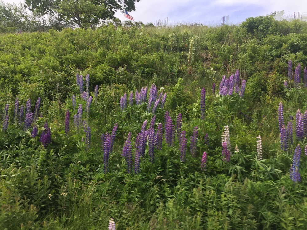 Lupines in full bloom, on side of the highway, during the annual  Lupine Festival .