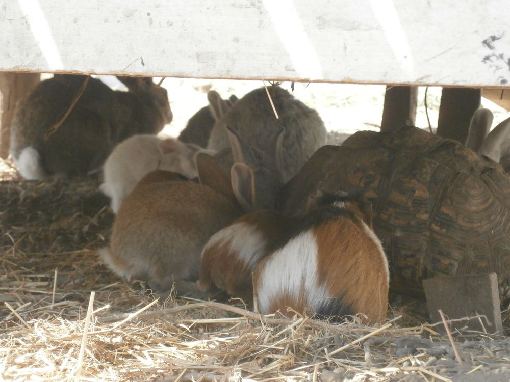 I was given four female rabbits but it must be a case of the 'Immaculate' conception as we now have the joy of watching 19 rabbits hop around their compound.