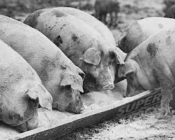 Have a read of Animal Farm and insert your own joke about pigs and troughs here.