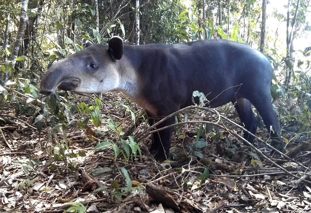 Feb 8, 2014, Peninsula de Osa, Costa Rica: It may resemble a pig or an elephant, but the tapir's closest relatives are horse and rhinoceros.
