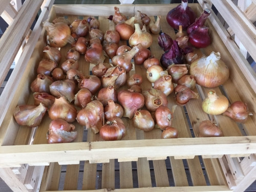 Some of this summer's onions and shallots...