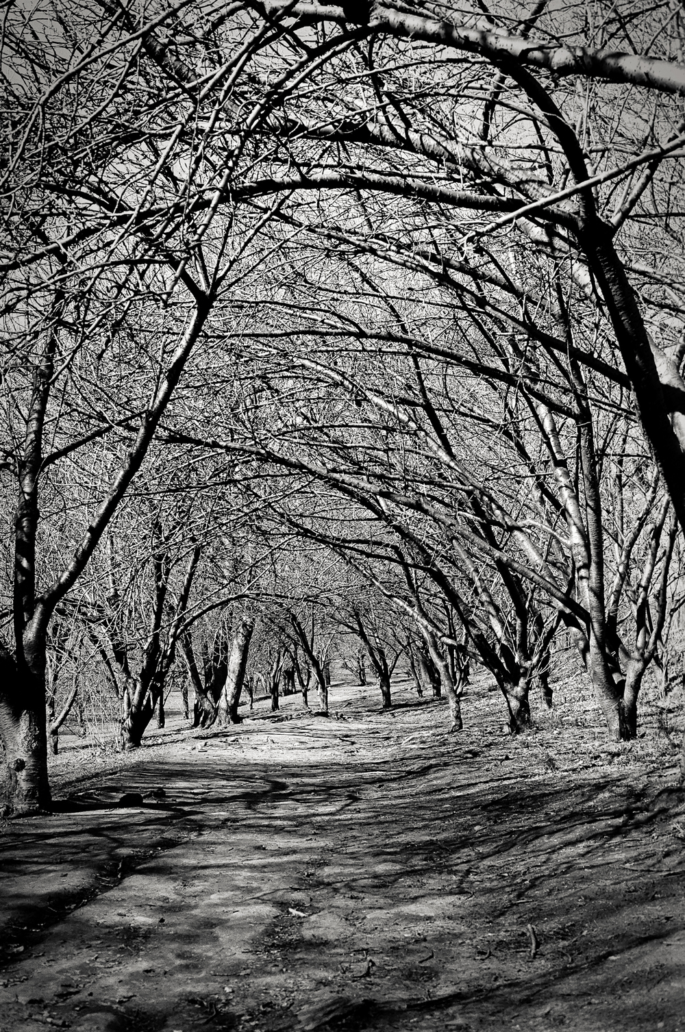 canopy of trees, Central Park, NY 1997.