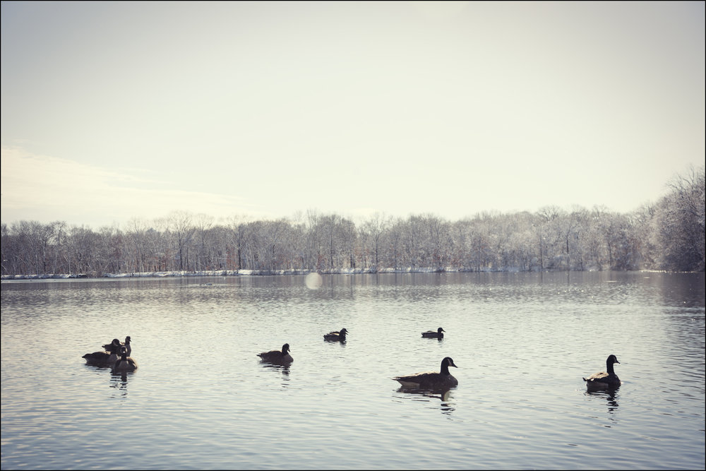 gaggle of geese, 2015.