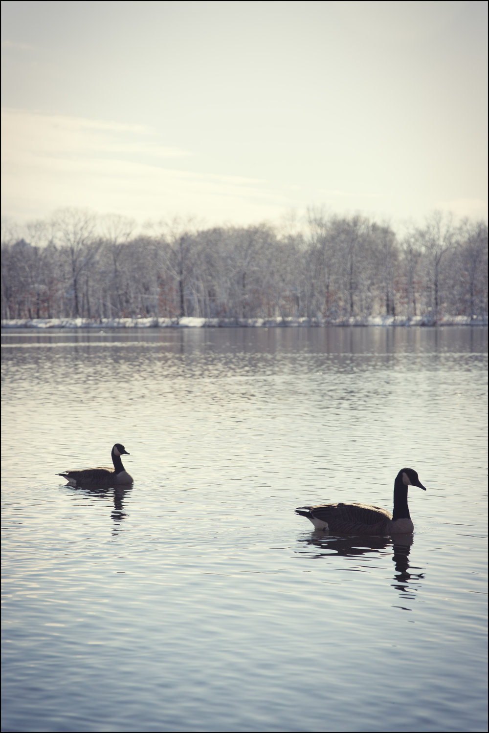 two geese, 2015.