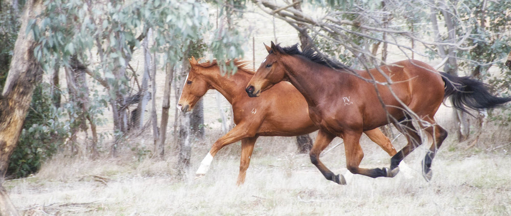 Theo and Duke galloping small.JPG