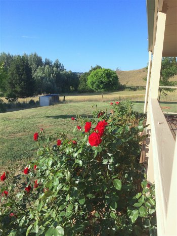 Roses in Cooma