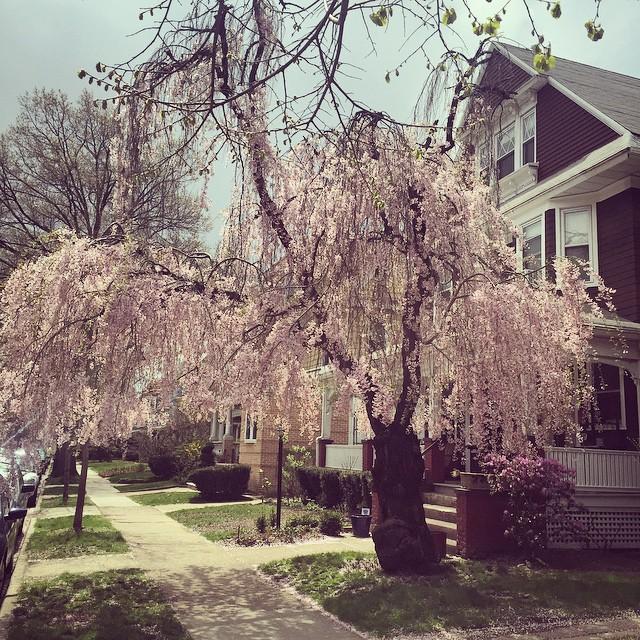 #prettiesttreeever #ditmaspark #spring @ditmasparkcorner