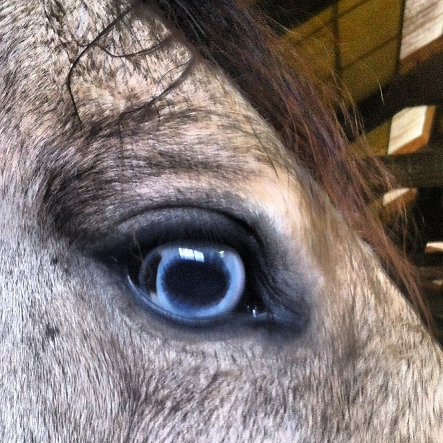 #blueeyedhorse #horse #blueeyes (at Penmerryl Farm)