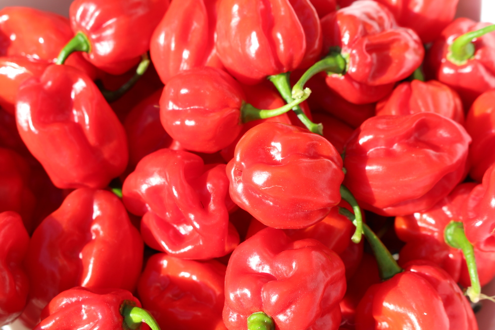 Jamaican Scotch Bonnet Peppers