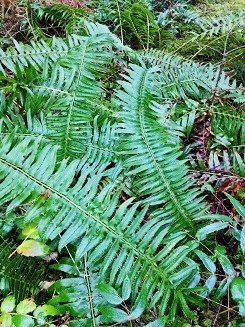 Design Inspiration - Ferns and forest groundcover of coastal British Columbia