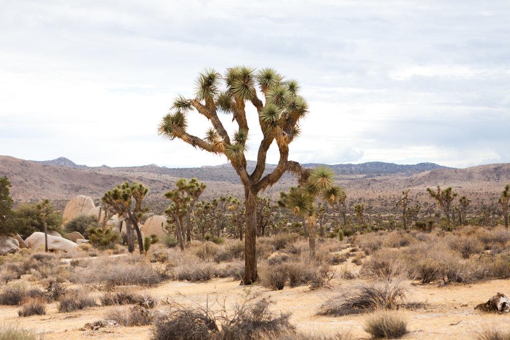 Amy Bartlam: Joshua Tree I