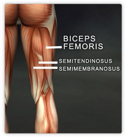 The hamstrings muscle group: biceps femoris, semitendinosus, & semimembranosus.  (Image courtesy Real Bodywork, Inc.)