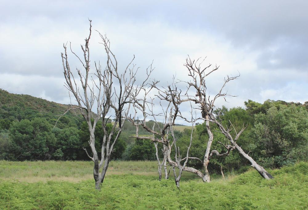 Dead trees in Bracken fields.