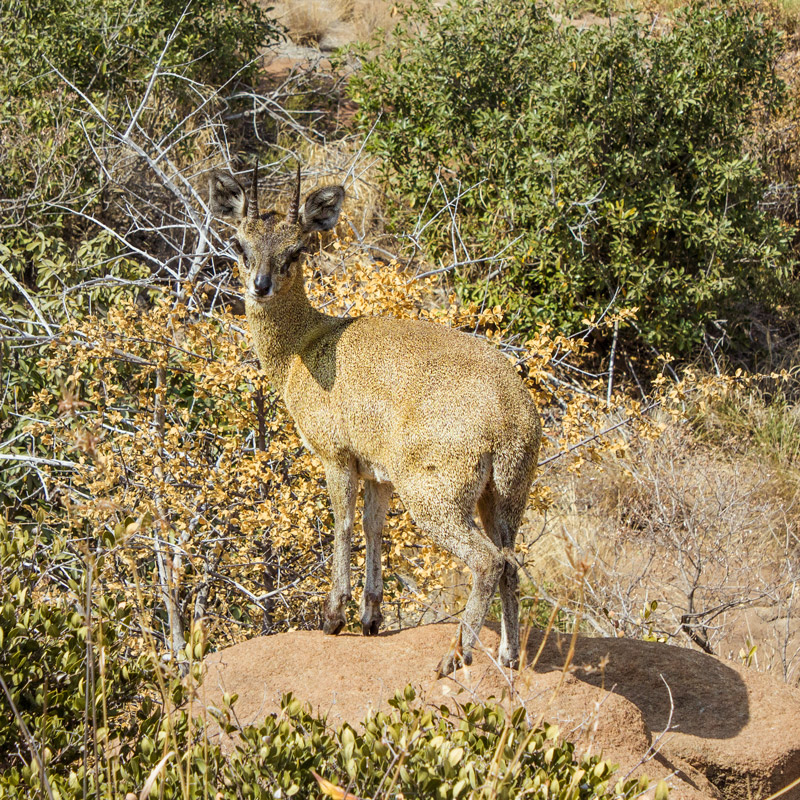 Klipspringer  ram – Mountain Sanctuary Park, Magaliesberg.