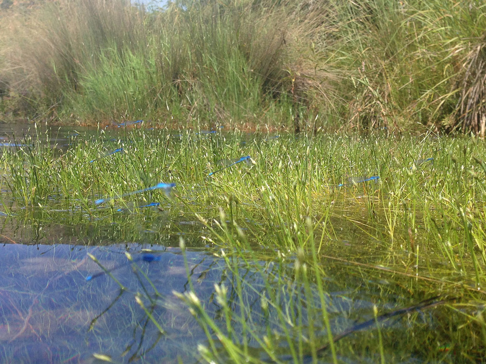 Swamp Bluets.