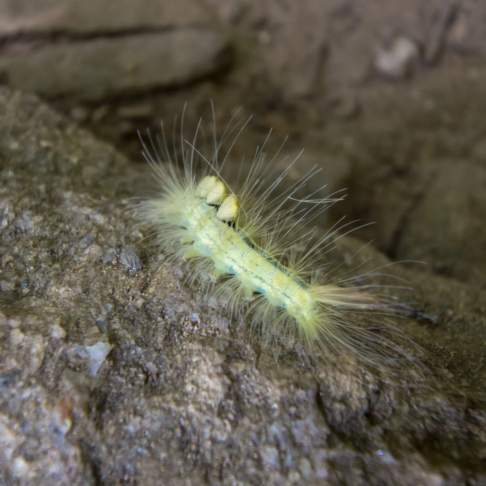 A Tussok Moth caterpillar. We have reason to believe that this is the back and it's head is facing away