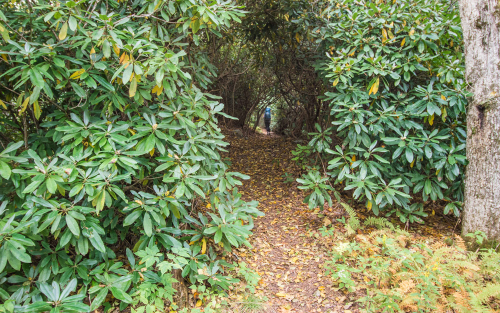 One of the many Rhodedendron tunnels