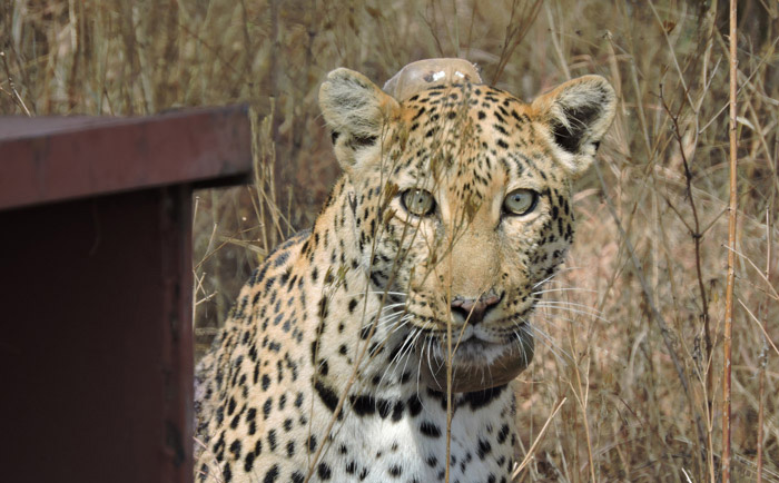 Brandy sporting her new GPS collar, shortly after being released. Photo credit: Africa Geographic.