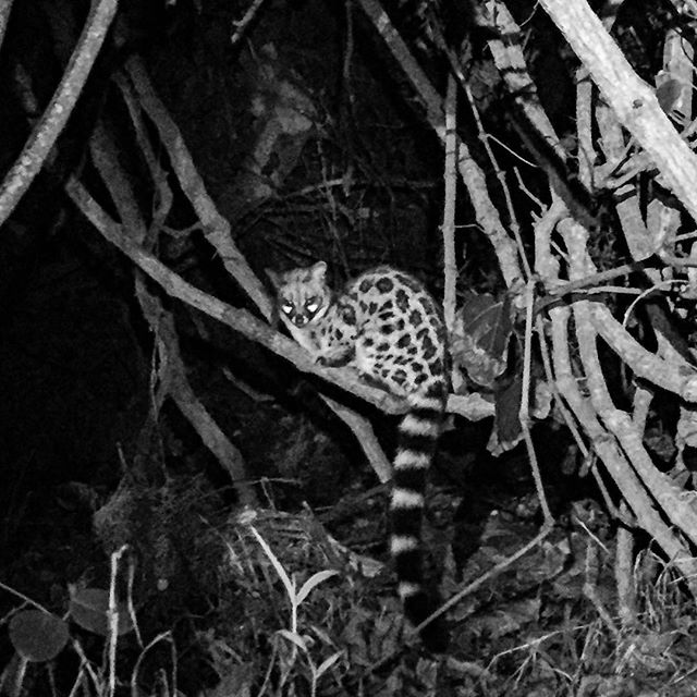 An opportunistic genet waiting for an unattended dinner plate. Unfortunately for him hungry hikers aren't to keen on sharing. #sorryforyou #genet #nightlife #wildlife #sofar #otter #ottertrail #hike #hiking #thisissouthafrica #southafrica