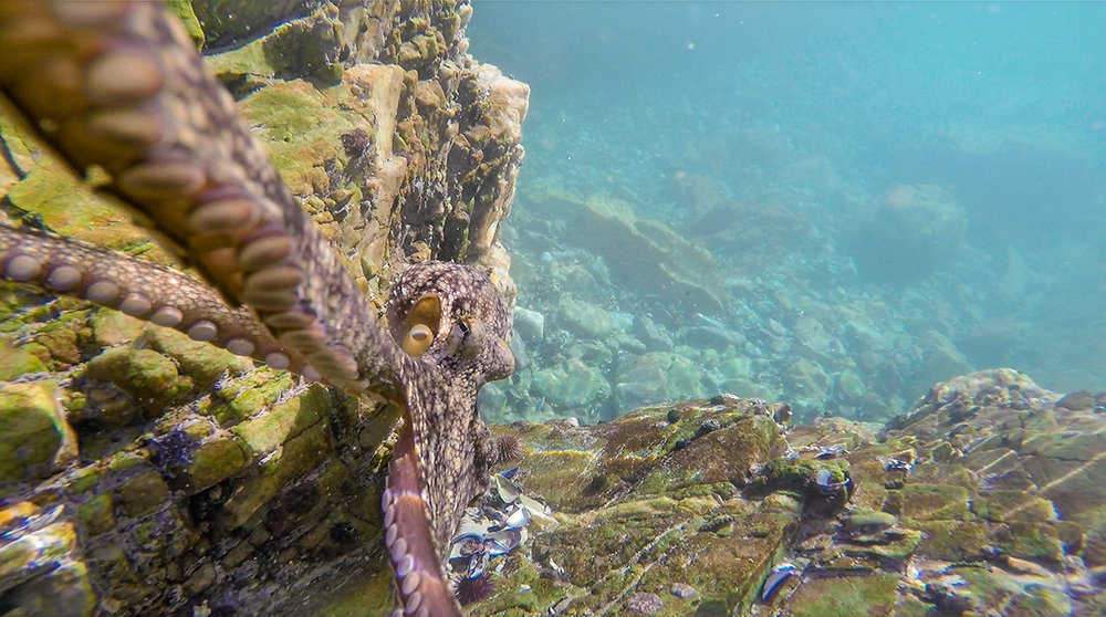 An octopus at the rock pools near Ngubu Hut, fascinated with our GoPro. He almost made off with it.