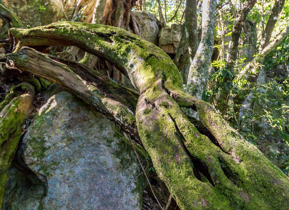 Moss covered lushness  –   Day 1,   Kaapsche Hoop to Flor  ence Hill Hut.   Click to enlarge.
