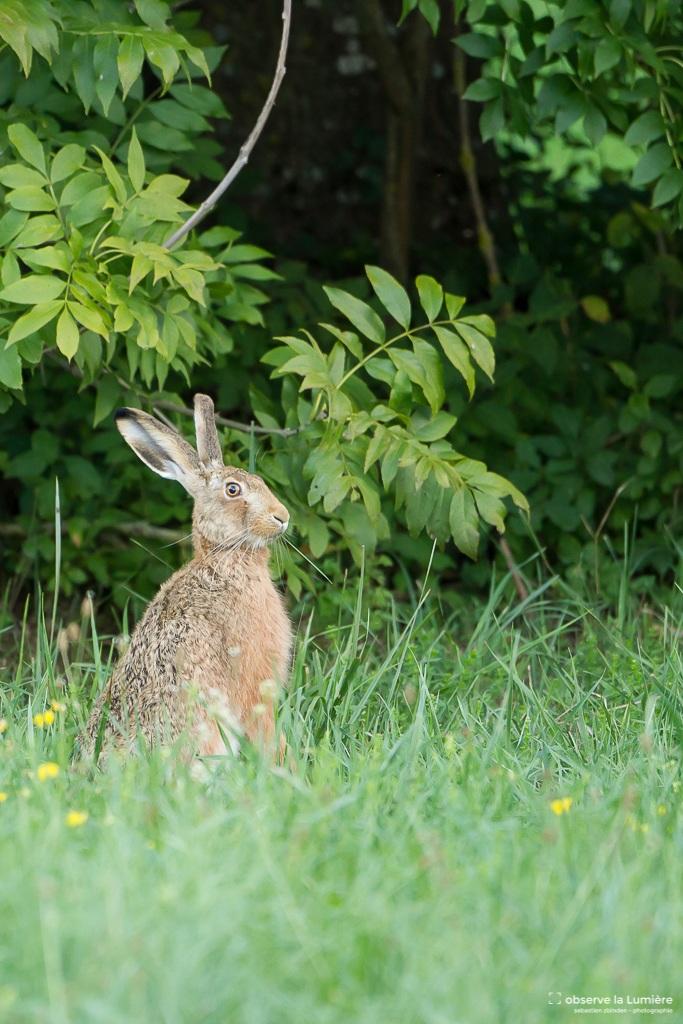 Observateur le lièvre