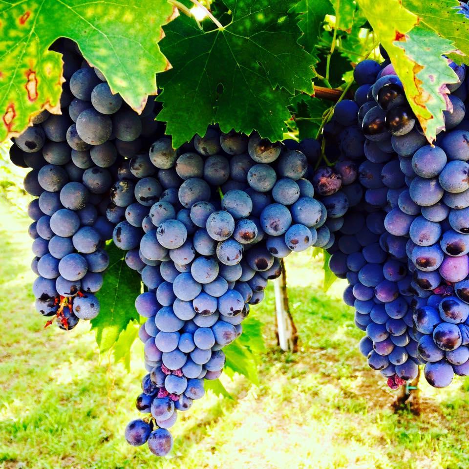 TuscanHarvestFour.jpg