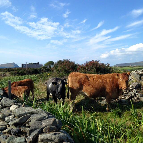 9.5.15  > Ranch Life > Photo > Dingle Peninsula > Giraffe Necks > NOT AVAILABLE FOR PURCHASE