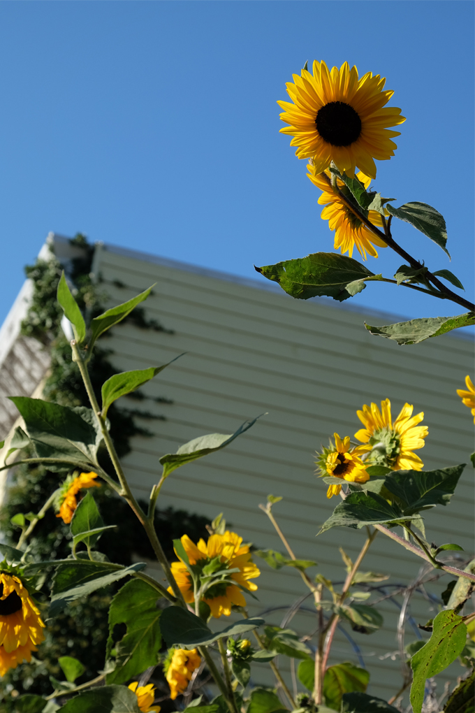 ClaraMaeJames_Sunflowers.jpg
