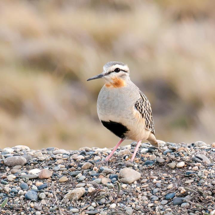 Tawny-throated_Dotterel_beautiful_earth_colors_ArgentinaDSC_9694-Edit20161111_1024x1024.jpg