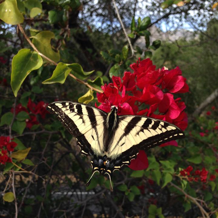 Pale Swallowtail Butterfly.jpg