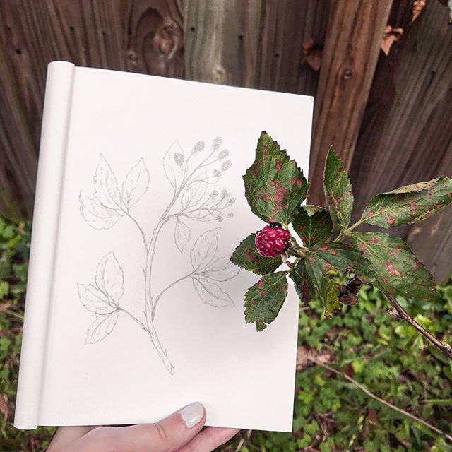 Our blackberries are just starting to ripen! I couldn't resist doing a little warm up sketch of a blackberry branch this morning to celebrate. Also, swipe to see a picture of them when they were flowering!